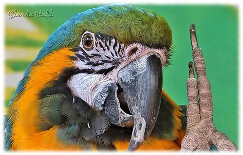ontario canada detail bird eye smile birds closeup bill fuji salute beak feathers wave niagara claw finepix aviary macaw talons exr bluegoldmacaw specanimal birdkingdom f770 me2youphotographylevel2 glendahall me2youphotographylevel3 me2youphotographylevel1