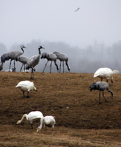 sweden cranes swans hornborgasjöen