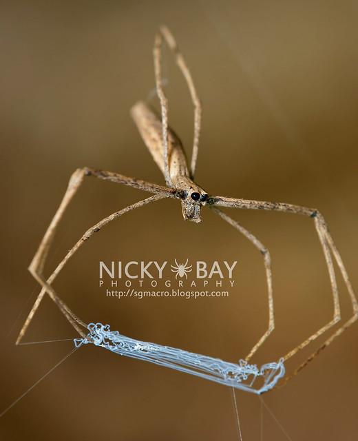 Net-Casting Spider (Deinopidae) - DSC_8594
