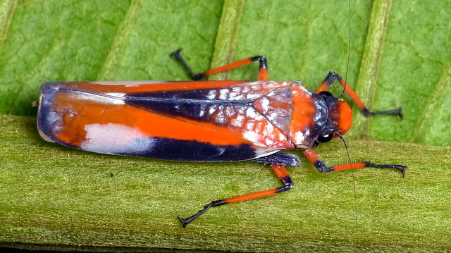 colorful leaf hopper by - photo #43