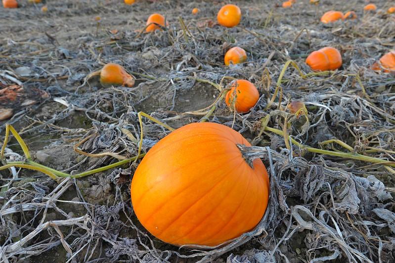 Frozen Pumpkin Field