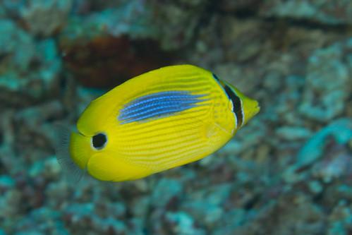 Blue Spot Butterflyfish (Chaetodon plebius). Photo Mark Rosenstein from Flickr