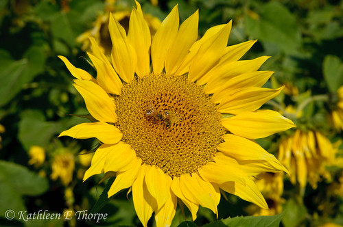 mountains flower macro yellow bokeh northcarolina bee sunflower explored