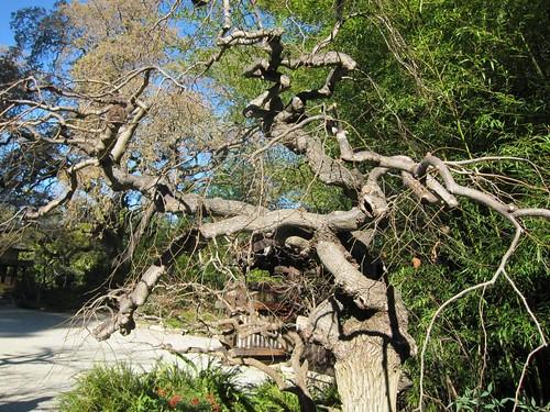 Hakone Japanese Gardens, Saratoga, CA, tree IMG_2275