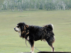 collie(0.0), dog breed(1.0), animal(1.0), dog(1.0), pet(1.0), mammal(1.0), australian shepherd(1.0), newfoundland(1.0), english shepherd(1.0),