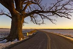 Bur Oak in Winter at Dusk