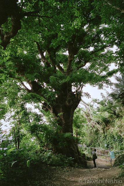 大アカギ / Huge Akagi tree