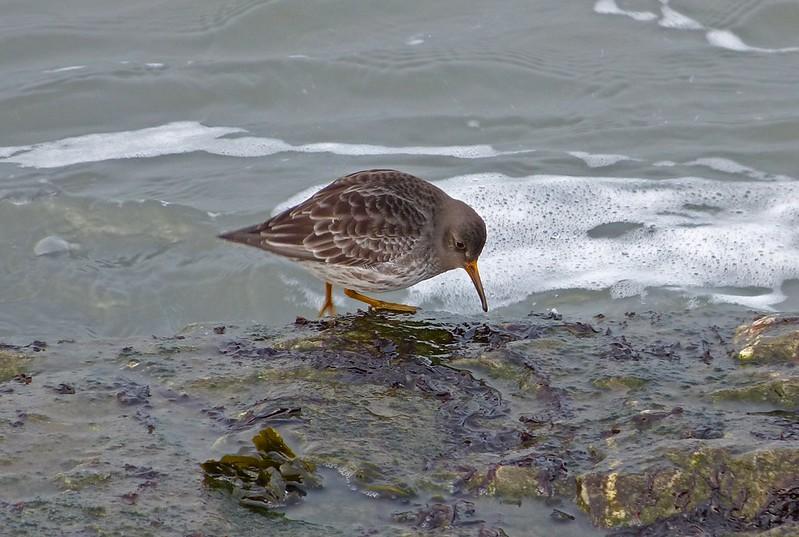 29183 - Purple Sandpiper, Aberystwyth