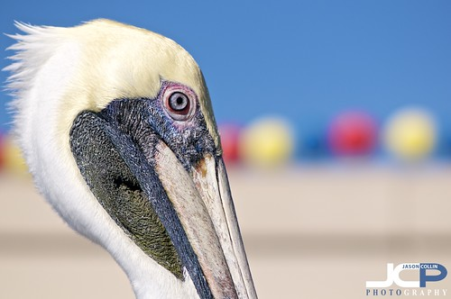 Brown Pelican looking colorful St. Petersburg Florida Fine Art Nature Photography