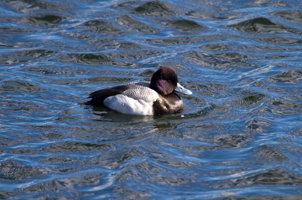 Scaup Sleeping