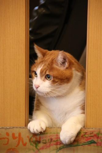 cat / mix / japan