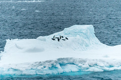 A small group of Adelie Penguins