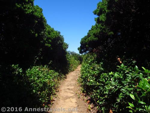Hidden coastal trail through hedges along the coast of Floras Lake Beach, Oregon