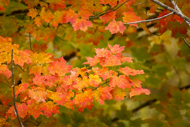 Autumn, Leaves, Fall, Color, Red, Yellow, Orange, Maple, Tree, Branch