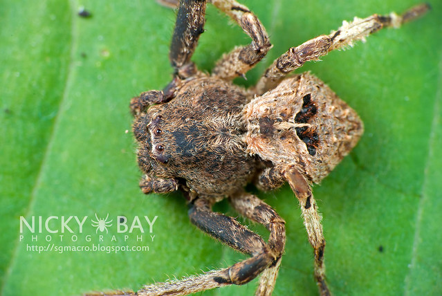 Crab Spider (Thomisidae) - DSC_9324