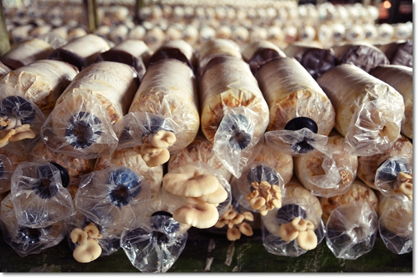 Mushrooms Cultivation