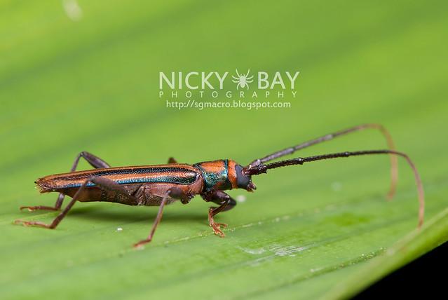 Longhorn Beetle (Xystrocera festiva) - DSC_7490