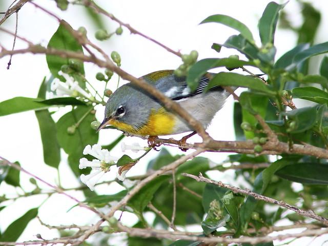 Northern Parula 3-20121014