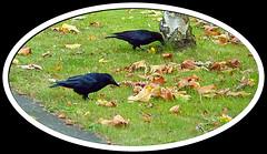Deux corbeaux près de chez moi by Julie70