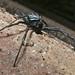 Small photo of Bornean Black Widow (Theridiidae)