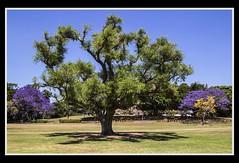 Big Tree in New Farm Park-1=