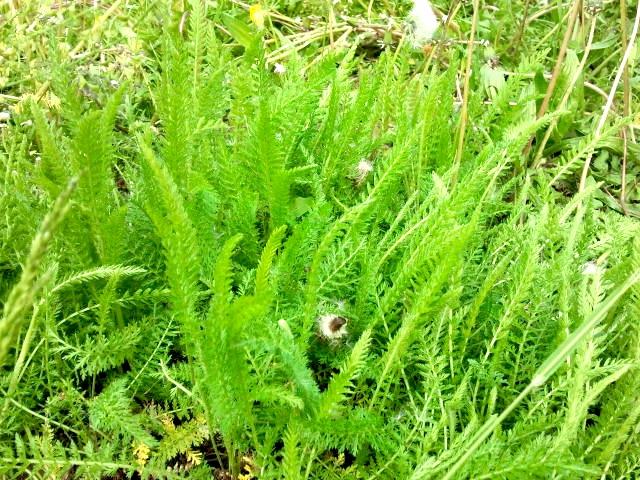 Yarrow - Stolisnik - Achillea millefolium