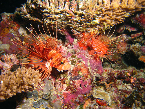 Poisson diable de Plongez-Pépère, sur Flickr