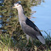 Adult Black-crowned Night Heron by the last don