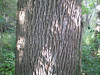 Typical bark for a mature white ash
