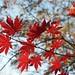 Small photo of Acer palmatum