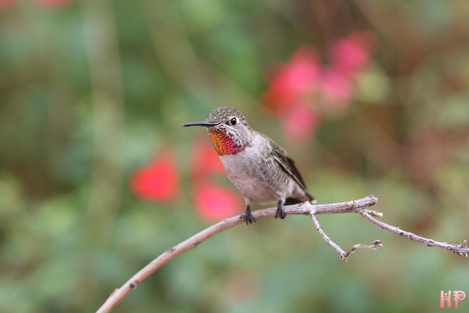 Anna's Hummingbird 102212-0