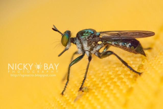 Robberfly? (Asilidae) - DSC_1815