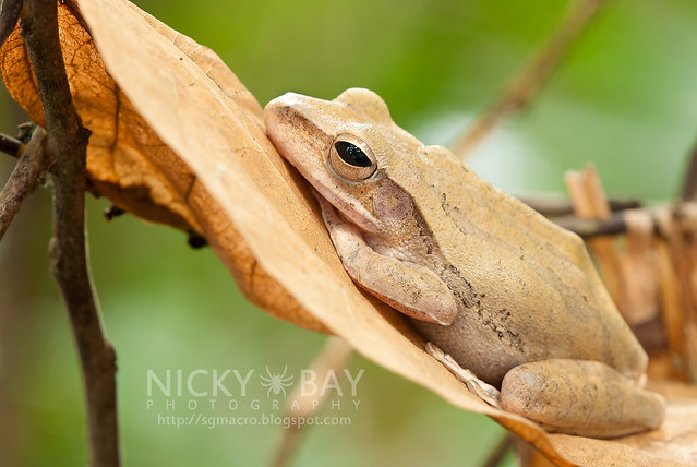 Four-lined Tree Frog (Polypedates leucomystax) - DSC_1691