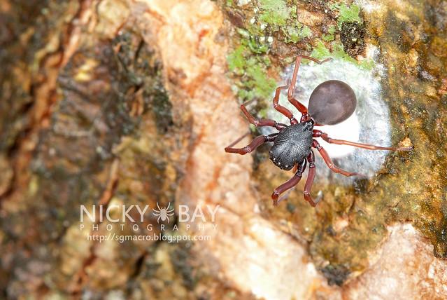 Ant-Mimic Sac Spider (Utivarachna galyaniae) - DSC_1534