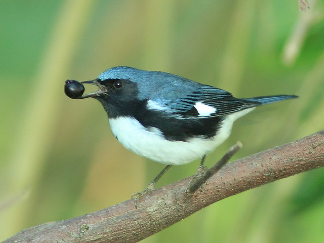 Black-throated Blue Warbler Dendroica caerulescens 3-20121022