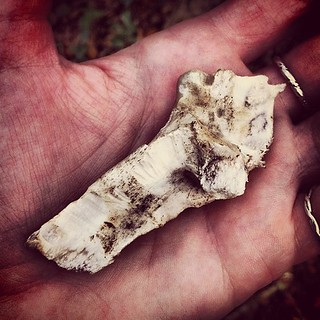 A Well Gnawed On Wild Boar Or Deer Bone Found In The Woods: Squirrels & Other Animals Eat Them For Nutrients They Can't Get From Their Regular Diet
