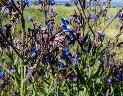 europe armenia wildplants boraginaceae tsapatagh peterphoto anchusaazurea gegharkunik anchusaitalica