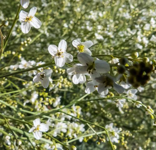 europe armenia brassicaceae wildplants peterphoto gegharkunik crambeorientalis