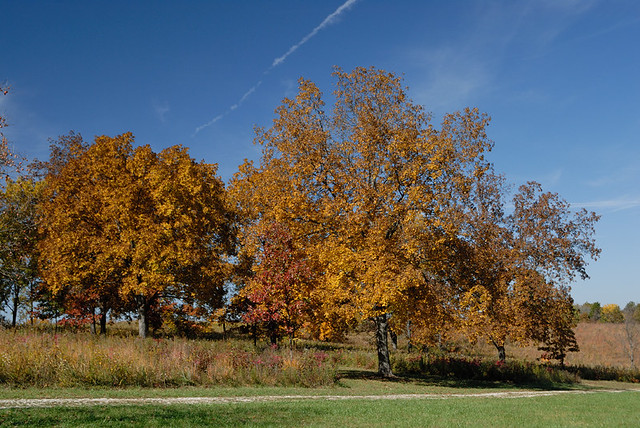 Shaw Nature Reserve (the Arboretum), in Gray Summit, Missouri, USA - clump of autumn trees on prairie