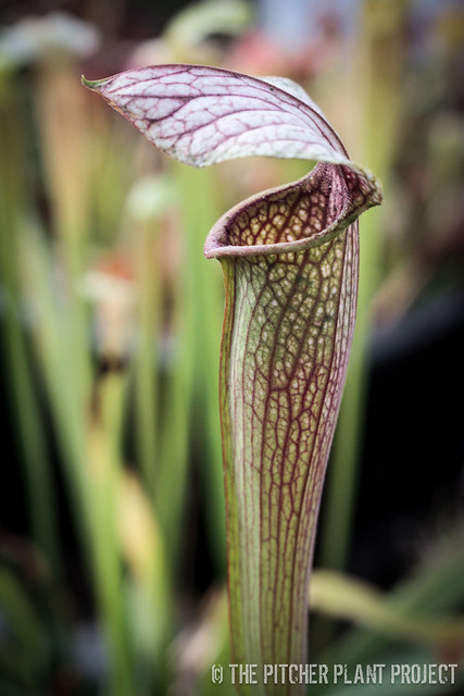 Sarracenia 'Spy Vs. Spy'