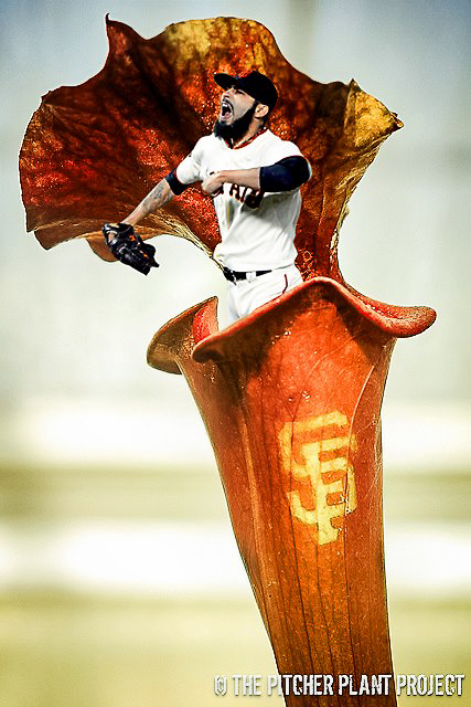 Sarracenia SF GIANTS REPRESENT