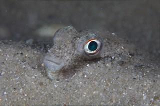 Sleeping Pufferfish