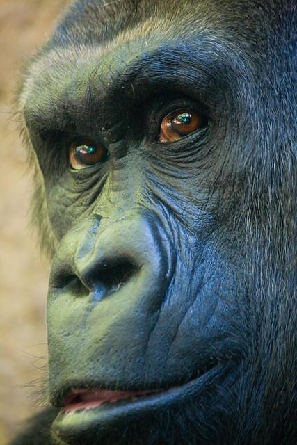 Lowland gorilla, Bronx Zoo
