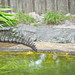 Small photo of Indian Gharial (Gavialis gangeticus)