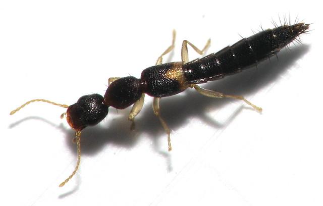 long black rove beetle flickr photo sharing. Black Bedroom Furniture Sets. Home Design Ideas