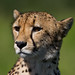 Cheetah portrait by gerdavs
