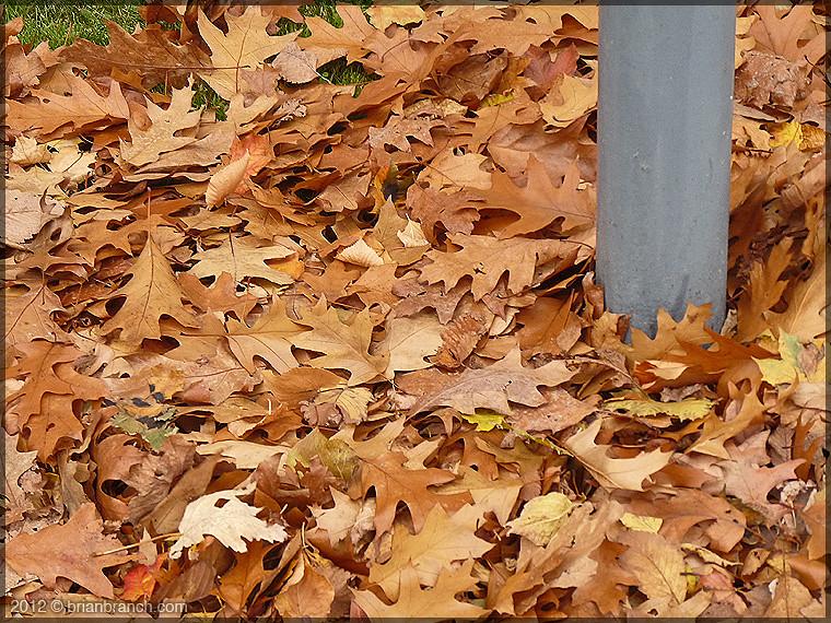 P1290088_oak_leaves