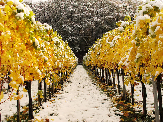The first Snow in the autumn Vineyards