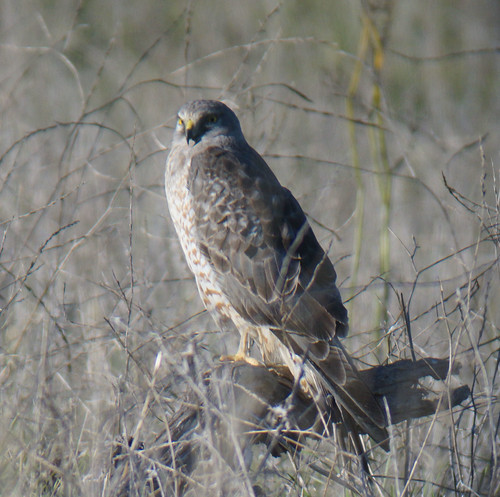 01-12-13_Northern Harrier_Coyote Hills Regional Park
