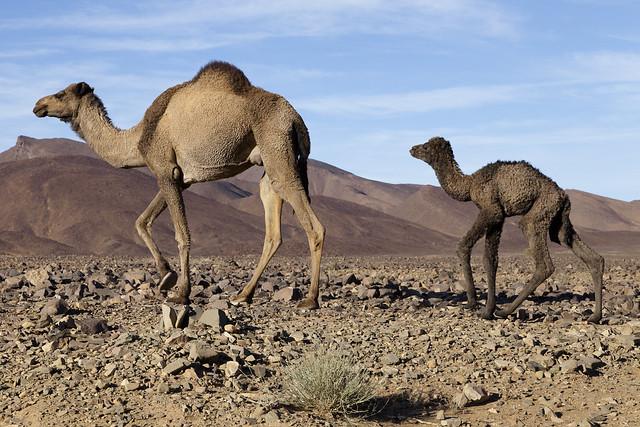 Chamelle dans le désert. Camel in the desert.